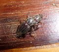 Chafers (Scarabaeidae), mating - Flickr - gailhampshire.jpg