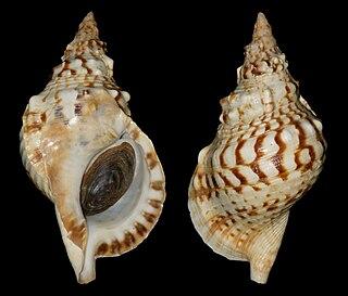<i>Charonia lampas</i> Species of gastropod