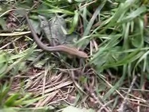 File:Chasing a brown lizzard DSCN2760.ogv