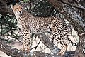 Cheetah Cub in Tree (28272560275).jpg