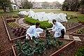Chefs Kevin Saiyasak and Jeremy Kapper harvest winter greens from the Kitchen Garden, 2012.jpg