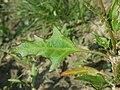 Chenopodium rubrum (s. str.) sl46.jpg