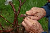 Cherry tree grafting 1.jpg