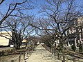 Cherry trees near Zasshonokuma Station 20180304-4.jpg