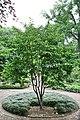 Chinese Stewartia (Stewartia sinensis) (3577723926).jpg