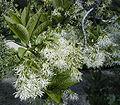 Chionanthus virginicus.jpg