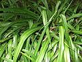 Chlorophyttum capense-yercaud-salem-India.JPG