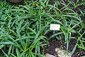 Chlorophytum comosum - Botanischer Garten - Heidelberg, Germany - DSC01199.jpg