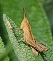 Chorthippus larva-pjt.jpg