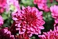 Chrysanthemum Delphi 0zz.jpg