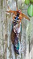 Cicada Killer with 2 cicadas.jpg