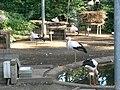 Cigognes blanches (Ciconia ciconia) (08).jpg