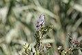 Cinereous Conebill (Conirostrum cinereum) (9496969599).jpg