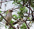 Cinnyricinclus leucogaster, Limpopo, South Africa 3.jpg