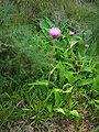 Cirsium heterophyllum2.jpg