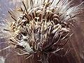 Cirsium longistylum (8155921460).jpg