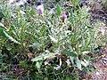 Cirsium pyrenaicum Habitus 2009-7-25 SierraNevada.jpg
