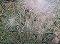 Cirsium vulgare, pappus, speerdistel.jpg
