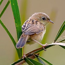 Bright-headed Cisticola