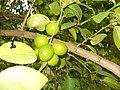 Citrus aurantifolia (Key lime) (YS).JPG