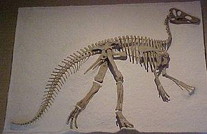 Santonian - Claosaurus