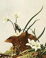 Claytonia virginica WFNY-051A-4x5.jpg