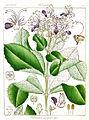 Clerodendrum senatum Govindoo.jpg