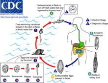 lebenszyklus leberegel nemathelminthes könnyen megfertőződhet e ascaris szal