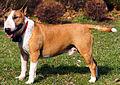 Close up of a Bull Terrier.jpg