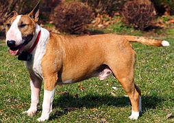 Bull Terrier... Patton 1970