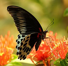 Close wing nectaring of Papilio polymnestor, Cramer, 1775 – Blue Mormon on Ixora coccinea WLB.jpg