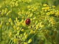 Coccinella quinquepunctata (2127991508).jpg