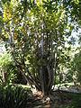 Coccoloba uvifera - Jardin d'Éden.JPG