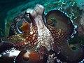 Coconut octopus (Amphioctopus marginatus) (15622968434).jpg