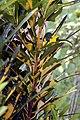 Codiaeum variegatum 28zz.jpg