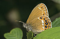 Coenonympha hero - Nature Conservation-001-073-g035.jpg