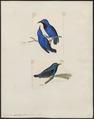 Coereba nitida - 1700-1880 - Print - Iconographia Zoologica - Special Collections University of Amsterdam - UBA01 IZ19000365.tif