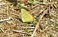 Colias crocea (230415081).jpg