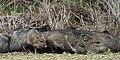 Collared peccary (Pecari tajacu), Bentsen-Rio Grande Valley State Park, Hidalgo Co. Texas (4 Feb 2010). A.jpg