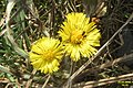Coltsfoot and flower beetles (EDL) (26015175700).jpg