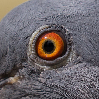 Rock dove - Bright orange eyes of a pigeon