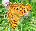 Comma butterfly 01.jpg