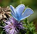 Common Blue. Polyommatus icarus - Flickr - gailhampshire (3).jpg