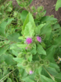 Common Burdock.png