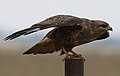 Common Buzzard (Steppe Buzzard), Buteo buteo vulpinus, on a fence along the R42, Gauteng, South Africa (32070087023).jpg