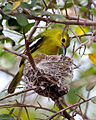 Common Iora female on nest.jpg
