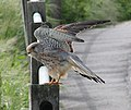 Common Kestrel 2.jpg