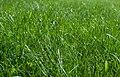 Common Lawn Grass Macro PLT-GR-3.jpg