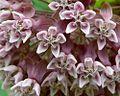 Common Milkweed (1035856056).jpg