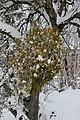 Common Mistletoe - Viscum album - panoramio (1).jpg